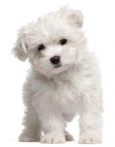 Hund malteser