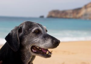 Ældre hund