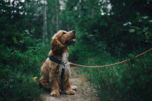 Hvorfor er en hundeforsikring en god idé?