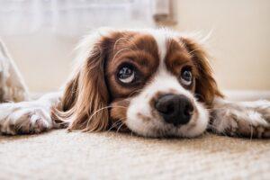 Hjerteorm hos hund og andre hundesygdomme, du bør være opmærksom på