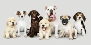 Din guide til køb af hundehvalp - Hvad skal du vide?